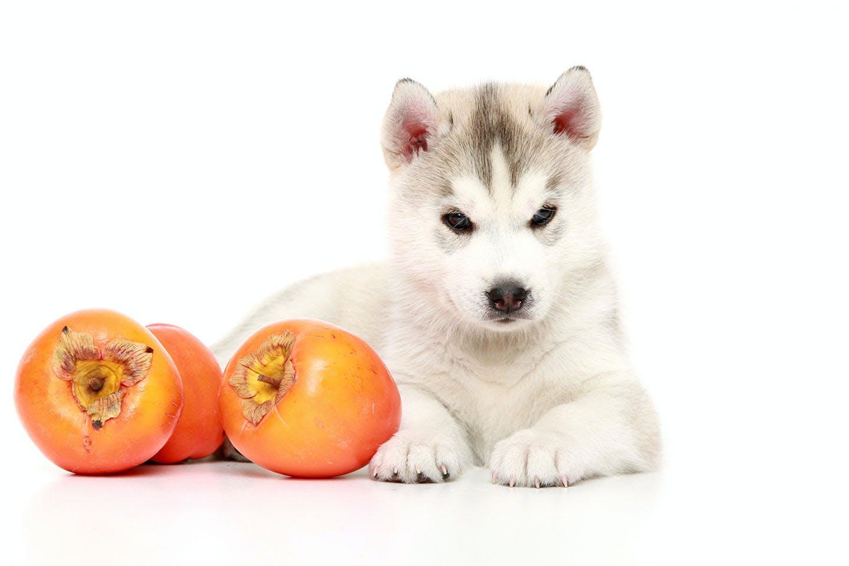 【獣医師監修】犬は柿を食べても大丈夫?皮や種、渋柿に関する注意点や食べるメリット、1日の適量について解説