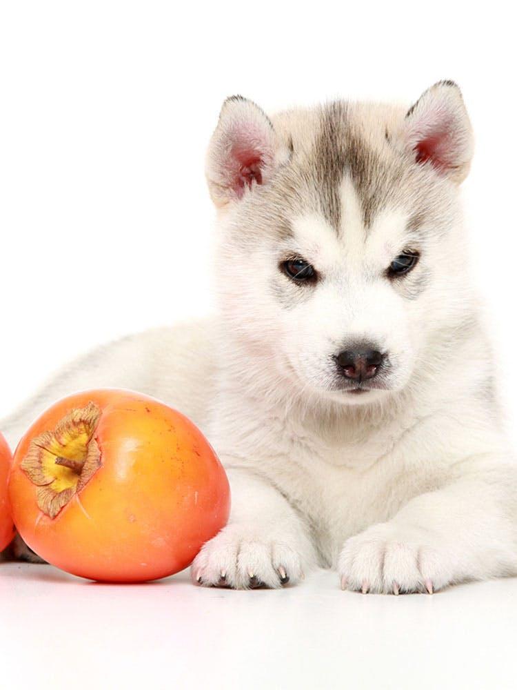 【獣医師監修】犬に柿をあげても大丈夫?適量や食べるメリット、皮や種をどうするかなど注意点を解説