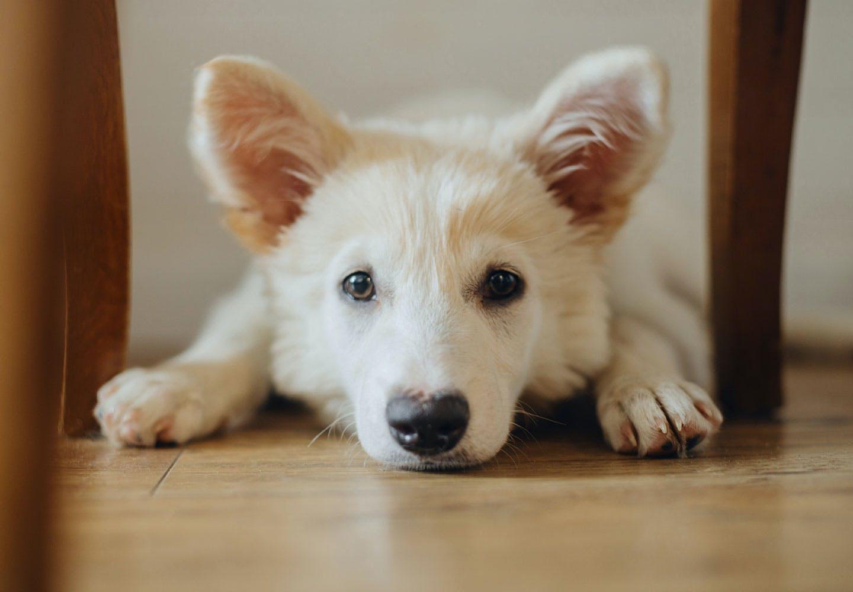 【獣医師監修】犬の生理(ヒート)の症状とは?時期や生理中の注意点を解説