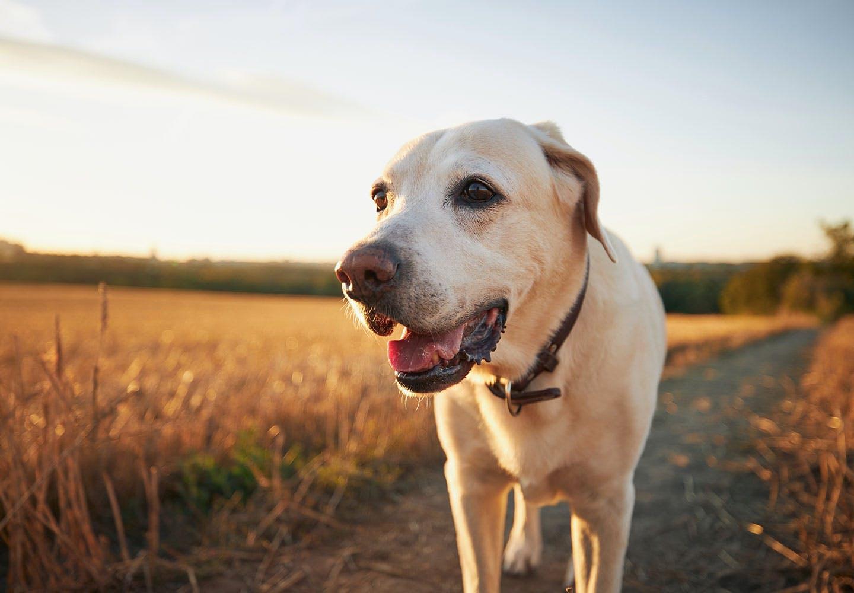 夕方の散歩中の犬