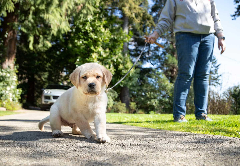 【獣医師監修】子犬の散歩はいつから?散歩デビューのタイミングや慣らし方、必要なアイテムや注意点などについて解説