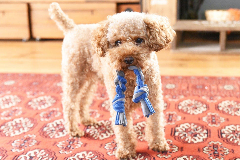 【製作時間15分】Tシャツで「愛犬用ロープおもちゃ」を作ろう!