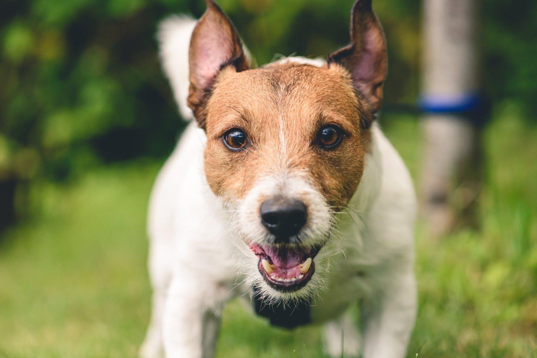 2才頃の犬は反抗期? よく見られがちな行動と対処法を学ぼう!