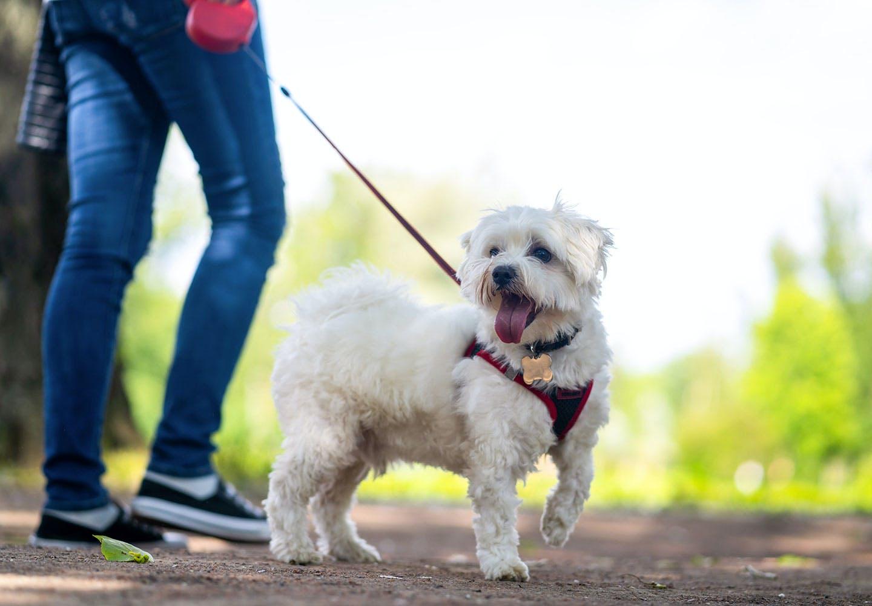 【獣医師監修】犬の散歩は毎日行くべき?犬種別の適切な距離と回数、飼い主が知っておくべきマナーや注意点などについて解説
