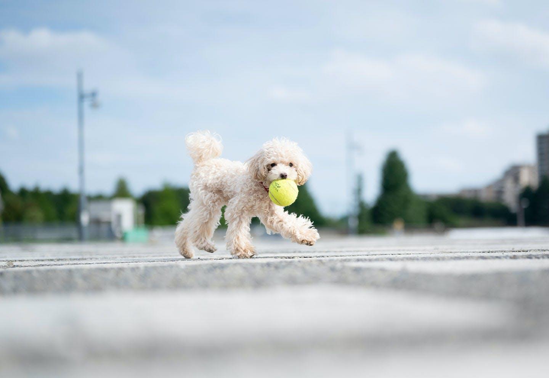 ボールを持ってくるリリ