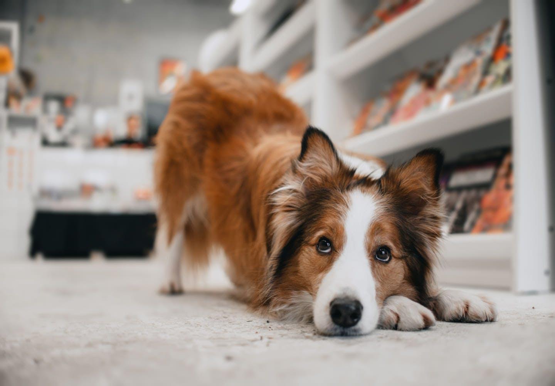 あごを床につける犬