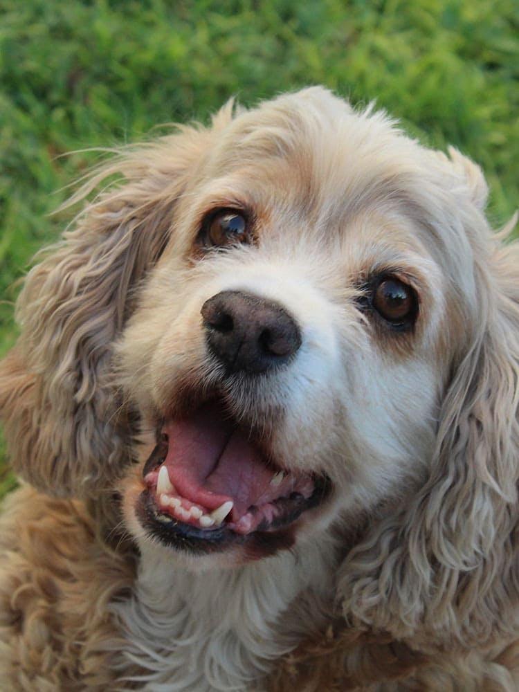 【獣医師監修】犬がしゃっくりをする原因とは? 対処法と予防テク、病気のサインの症状などを解説