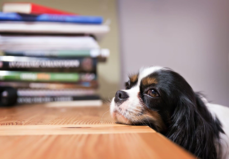 テーブルに頭を乗せる犬