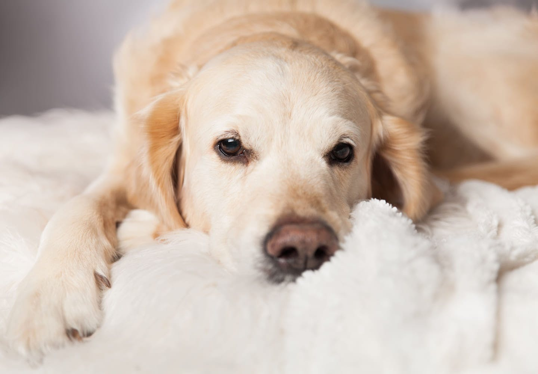【獣医師監修】愛犬を上手に留守番をさせるためのコツとは?何時間が限界なのか、トレーニング方法や必要なしつけ、注意点などについて解説