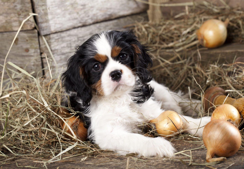 【獣医師監修】犬に玉ねぎがNGな理由とは?食べたときの中毒症状や誤飲したときの対処法を解説