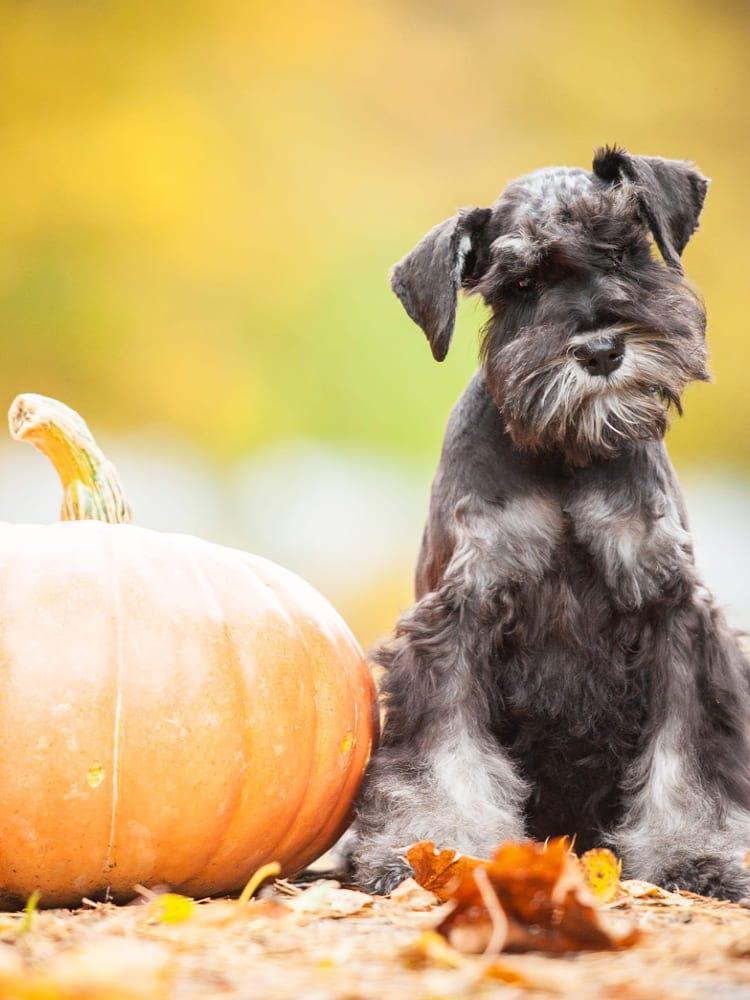 【獣医師監修】犬にかぼちゃを食べさせて大丈夫?与えるメリットや皮や種、加工品に関する注意点を解説