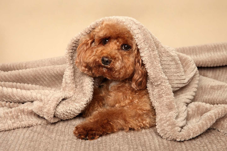 毛布をかぶる犬