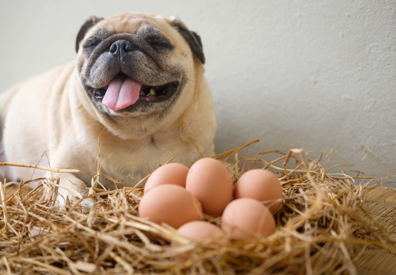 犬に生卵やゆで卵を食べさせても大丈夫!栄養素や適量、注意点などについて解説【獣医師監修】