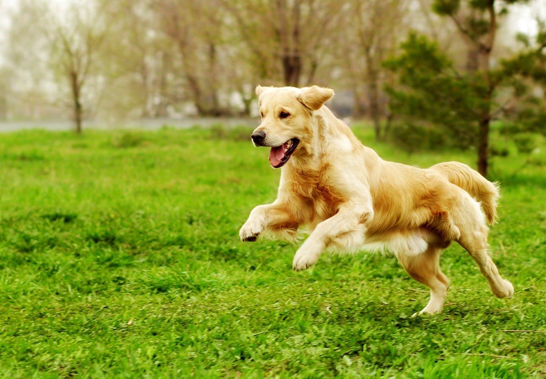 走りこむ犬