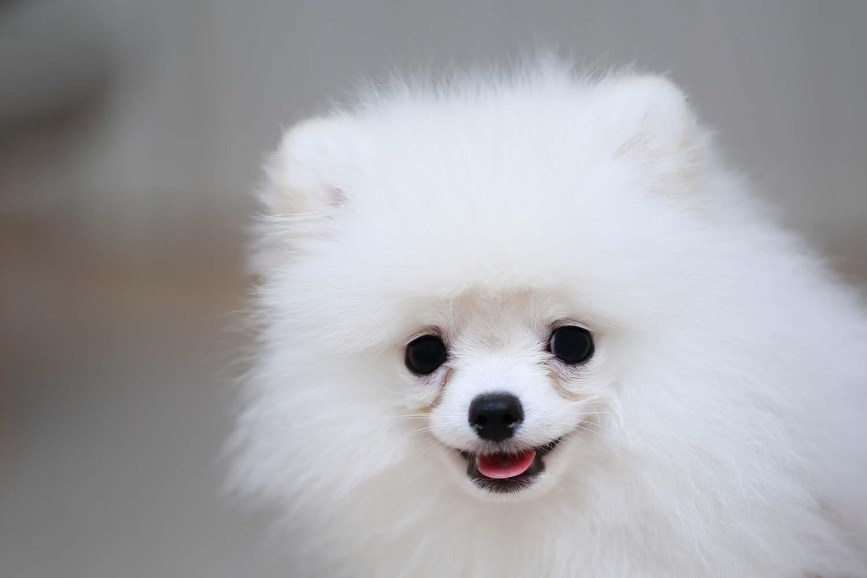 涙やけの白い犬