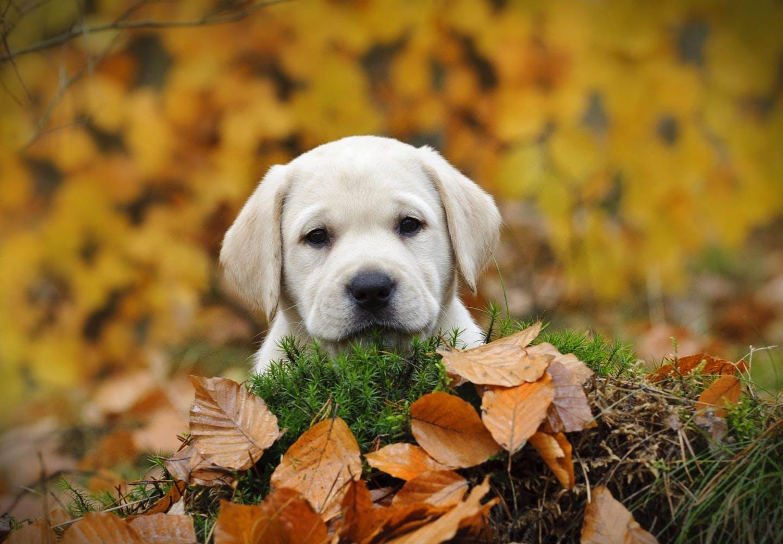【獣医師監修】犬に栗を食べさせて大丈夫?与えるメリットや適量、鬼皮・渋皮・殻に関する注意点などを解説