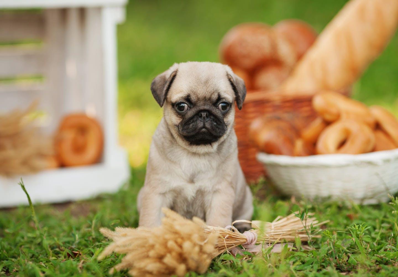 【獣医師監修】犬にパンを食べさせても大丈夫?与える際の注意点、アレルギーや下痢・肥満のリスクについて解説