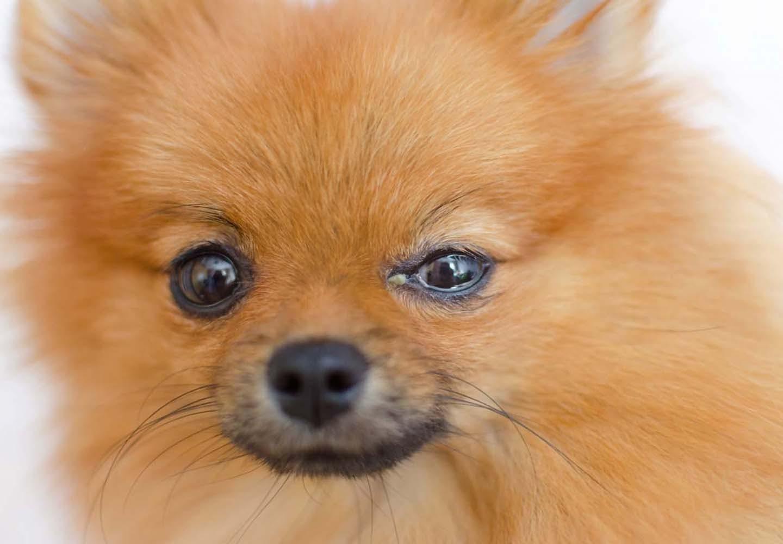 【獣医師監修】犬の目やには病気のサイン?原因と対処法、涙やけとの違いについて解説