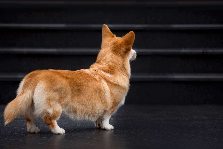 階段を見つめる犬