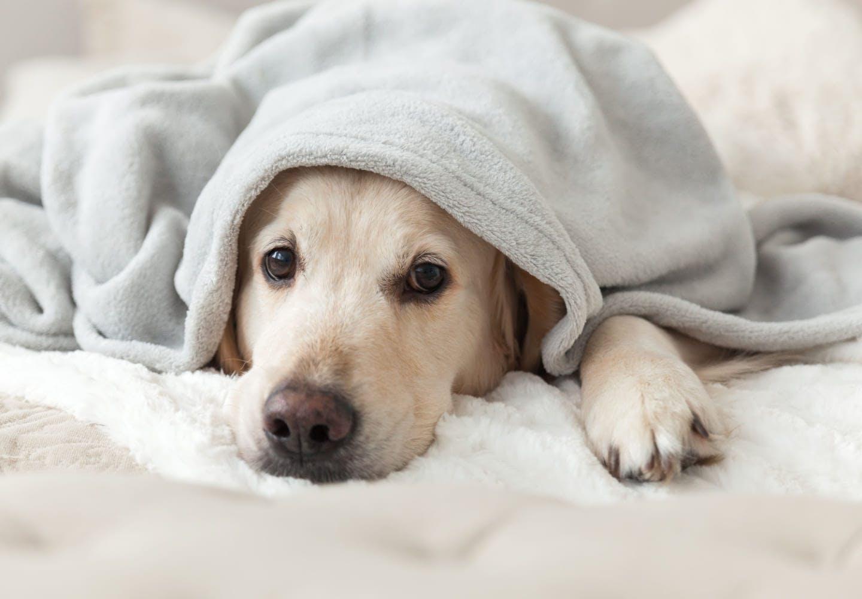 【獣医師監修】犬も風邪をひくって本当?主な症状や対処法、人にうつるかどうかを解説
