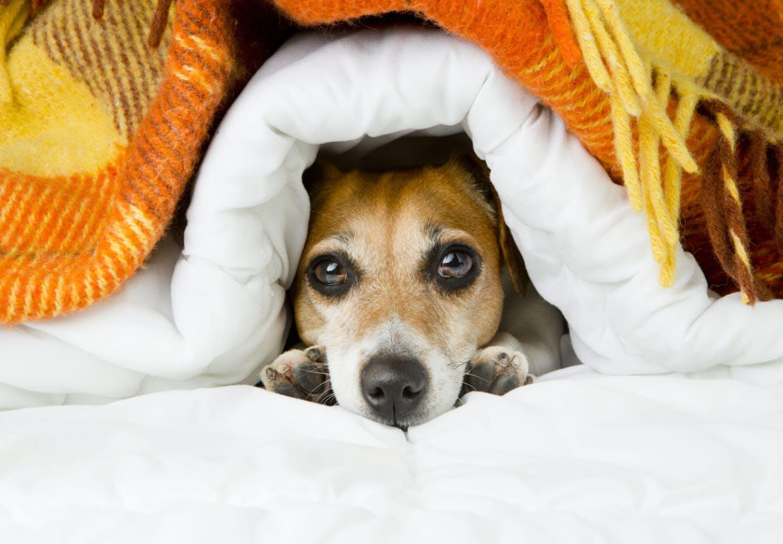 布団からのぞいている犬