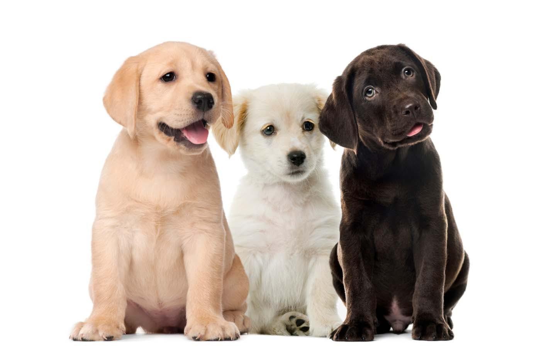 レトリーバーの子犬たち