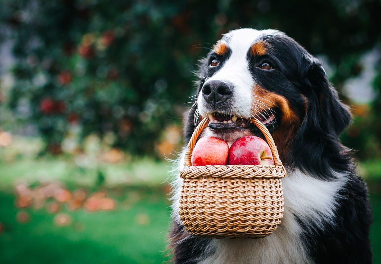 りんごのカゴを咥える犬
