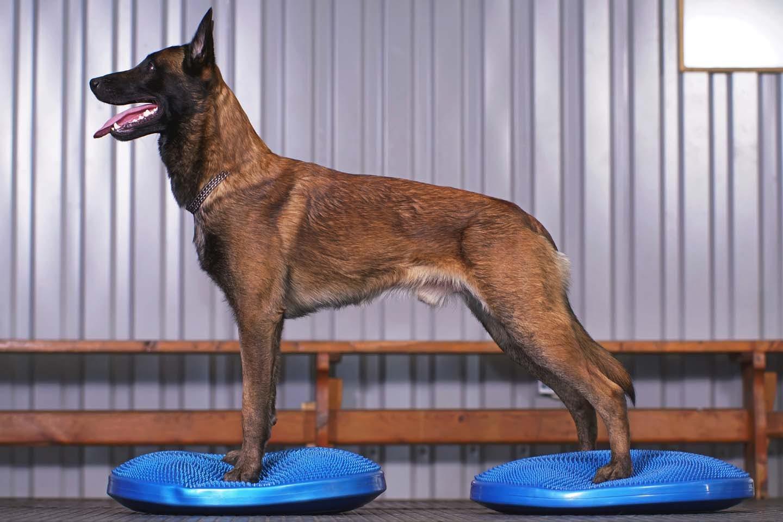 バランスディスクで筋トレする犬