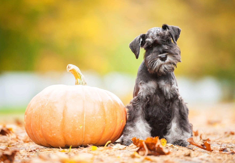 犬はかぼちゃを食べても大丈夫!皮や種など与える際の注意点や健康面のメリット、適量などについて解説【獣医師監修】