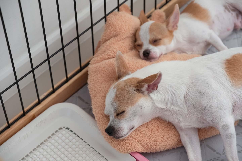 ケージの中で眠る2匹のチワワ