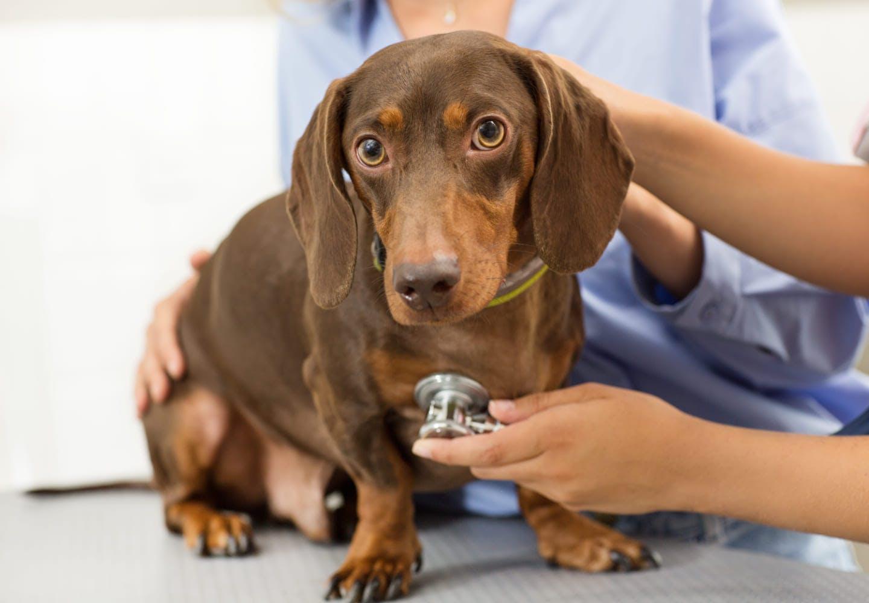 聴診器を当てられている犬