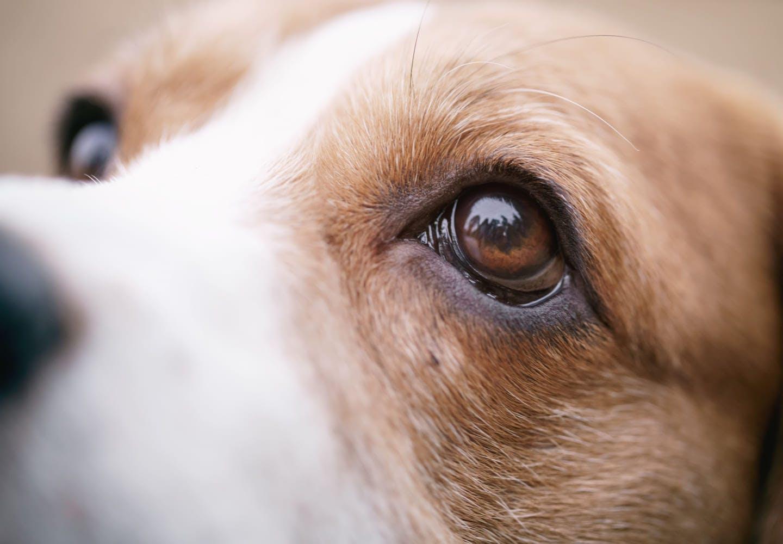 【獣医師監修】犬の涙やけの原因って?病院に行くべき症状や自宅でできるケア、予防方法などについて解説