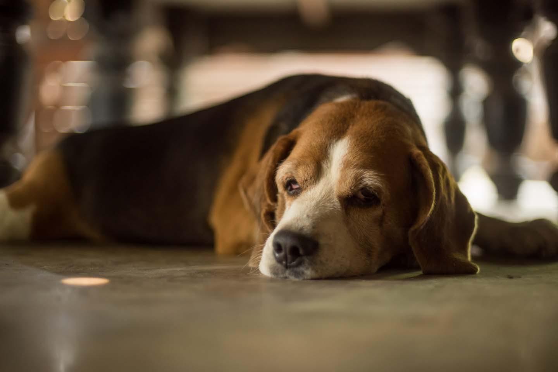 【獣医師監修】老犬の夜鳴き(夜泣き)の原因とは?対処法と注意点、普段からできる予防策について解説