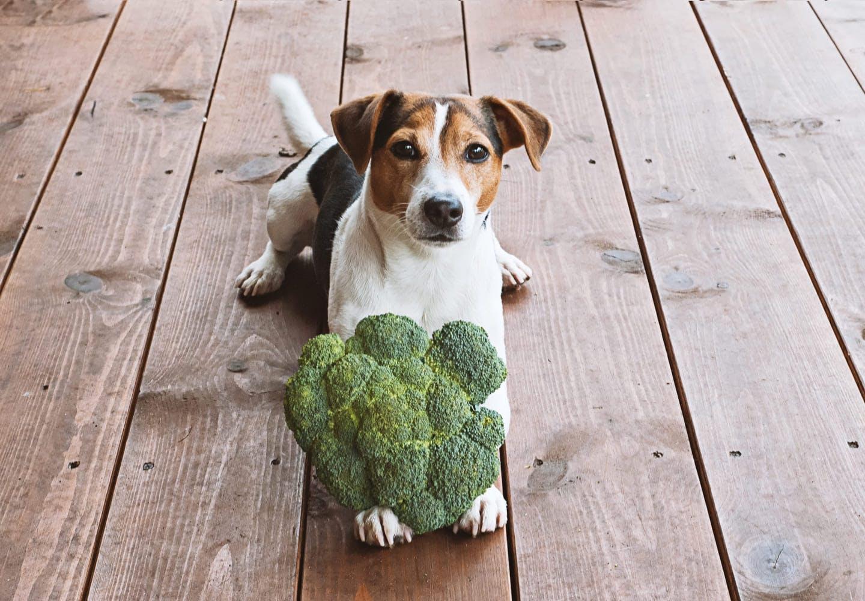 【獣医師監修】犬にブロッコリーを与えても大丈夫?与える際の注意点や健康面のメリット、1日の適量について解説