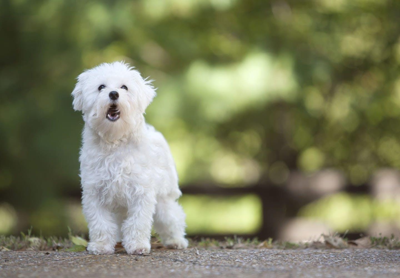 犬に噛まれてしまったら?_吠える白い犬