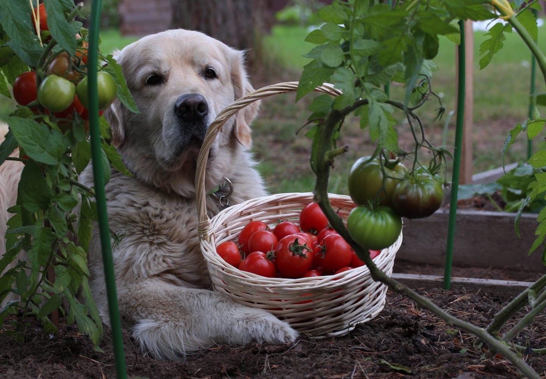 トマト畑にいる犬