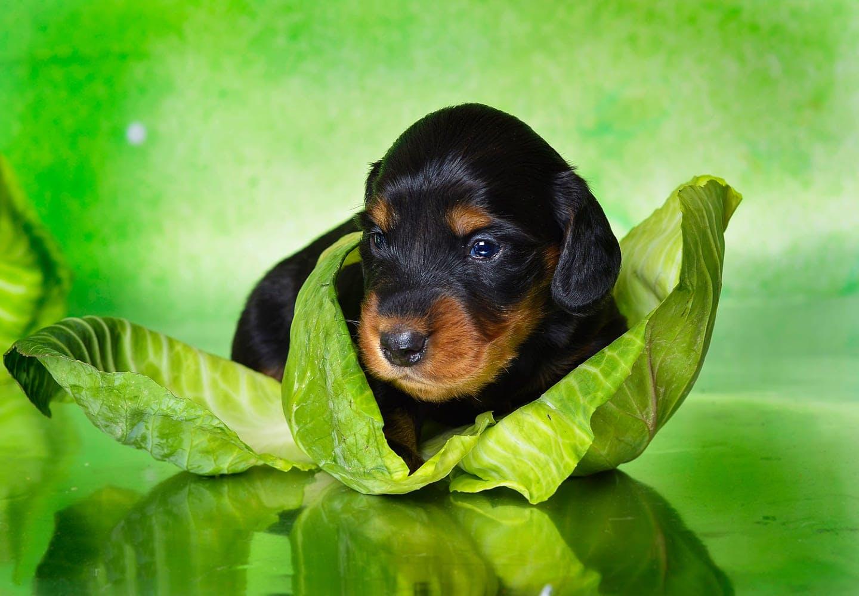 キャベツの葉と犬