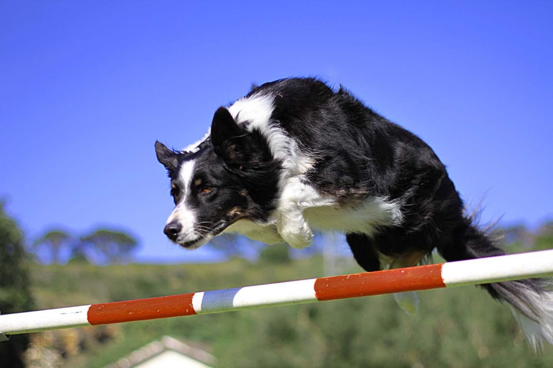 愛犬と楽しむドッグスポーツ「アジリティ」って何?向いている犬種や練習方法をドッグトレーナーが解説