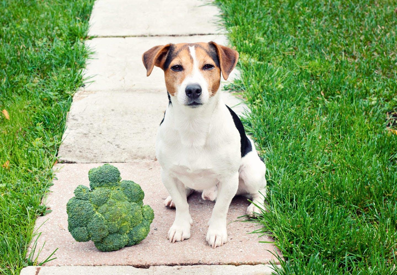 ブロッコリーの横にいる犬