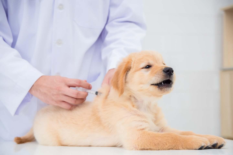犬のワクチン接種