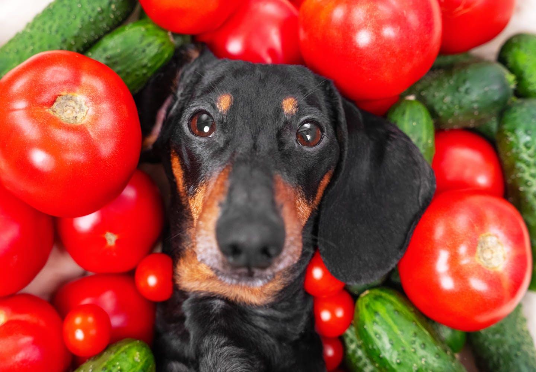 トマトに囲まれる犬