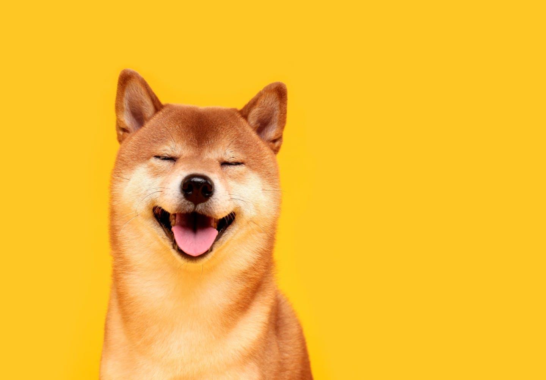 【獣医師監修】柴犬はどんな犬?性格や飼いやすさ、しつけのコツや特徴について解説