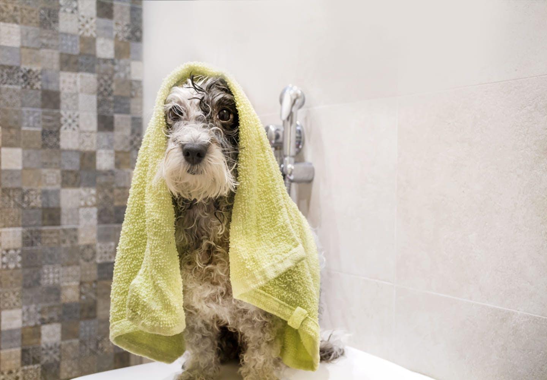 犬にお風呂は必要?_バスタオルを乗せる犬