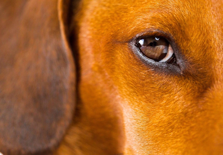 犬の涙やけの原因って_茶色の犬の目