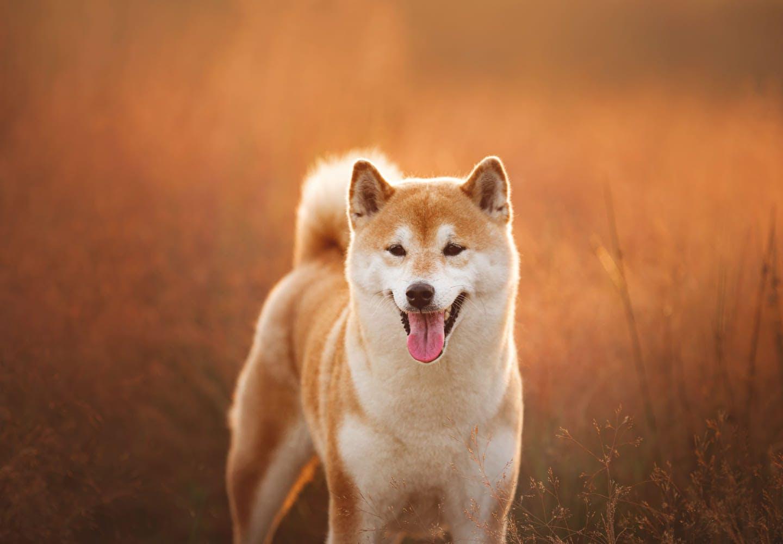 草原に佇んでいる柴犬