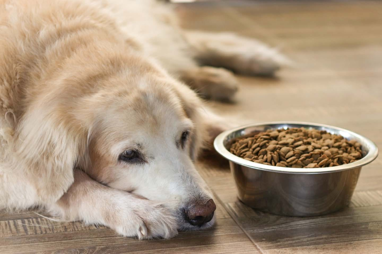 老犬がご飯を食べない時はどうすれば?飼い主ができる食事の工夫と考えられる病気、注意点について解説【獣医師監修】