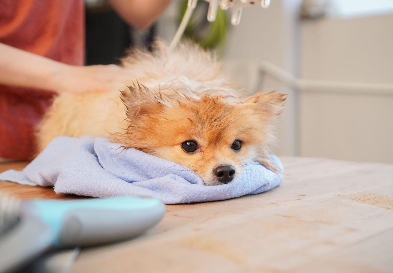 犬にお風呂は必要?_毛を乾かしている犬