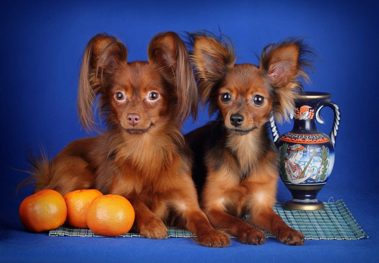 2匹の犬とみかん