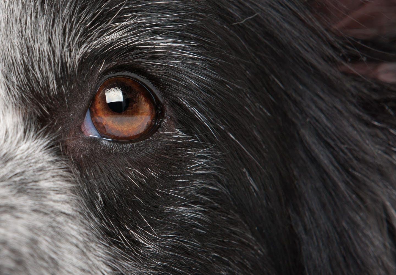 犬の涙やけの原因って_黒い犬の目