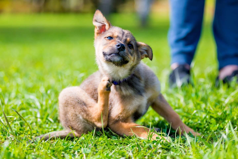 【獣医師監修】犬のフケが多いときの対処法は?原因と病気の可能性、病院に連れていくべき症状などについて解説
